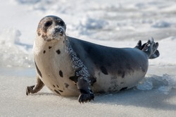 A large grey harp seal lays on an ice pan with its face and body covered in snow. The seal has two sets of flippers and the claws are on the wet ice. The seal has its head up and is looking sideways.