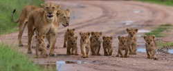 A large group kittens of lion (cub of lion)  and lioness (female of lion) are moving on savanna's road. It is a good illustration on soft light which shows wild life and natural habitat.