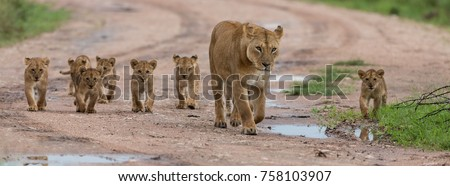A large group kittens of lion (cub of lion)  and lioness (female of lion) are moving on savanna's road. It is a good illustration on soft light which shows wild life and natural habitat. #758103907
