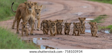 A large group kittens of lion (cub of lion)  and lioness (female of lion) are moving on savanna's road. It is a good illustration on soft light which shows wild life and natural habitat. #758103934