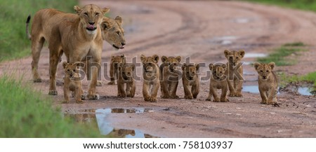 A large group kittens of lion (cub of lion)  and lioness (female of lion) are moving on savanna's road. It is a good illustration on soft light which shows wild life and natural habitat. #758103937