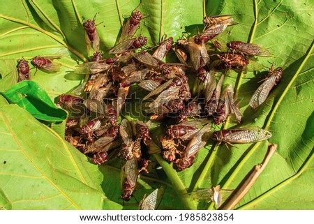 A large group of cicadas spreading their wings and swarming on the leaves. Stock photo ©