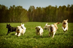 A large group of dogs Golden retrievers running in the summer through the green valley