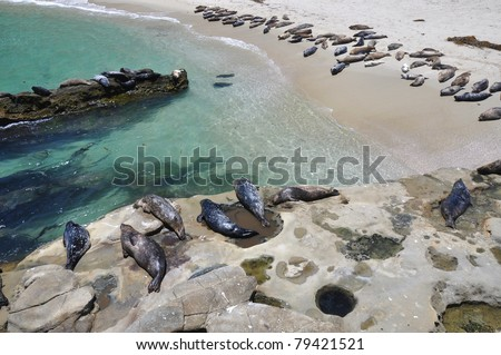 A large group of harbor seals gather to sun themselves at Children's Pool beach in La Jolla, California.