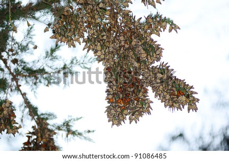 A large group of Monarch Butterflies hanging on a Eucalyptus tree, Pismo Beach Grove.