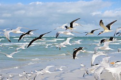 A Large Group of Seagulls taking Flight from the Beach