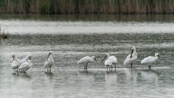 A large group of spoonbills standing in water A group of  Eurasian Spoonbill or common spoonbill (Platalea leucorodia) in the lagoon, hunting for fish. Gelderland in the Netherlands.