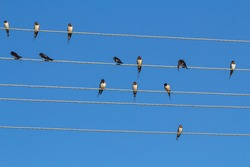a large group of swallows sitting on the wires. swallows preen their feathers, sleeping, watching. barn swallows, adults and Chicks. On the background of blue sky.