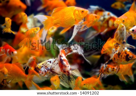 a large group of swimming goldfish in an aquarium - lots of motion and blurring some fish in focus - most are not