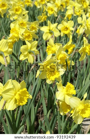 A large group of yellow daffodils are being grown outside in the sunshine.