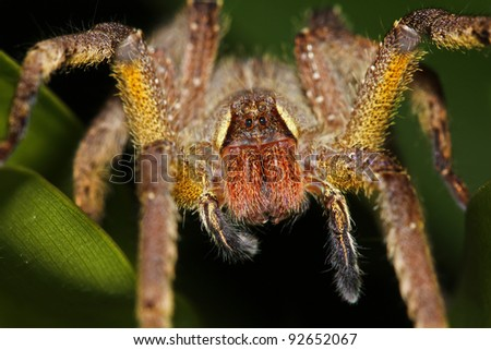 A LARGE, HAIRY, YELLOW spider in the Peruvian Amazon #92652067