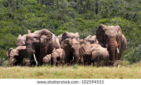 A large herd of elephant group together in a tight bunch in Addo elephant national park,eastern cape,south africa