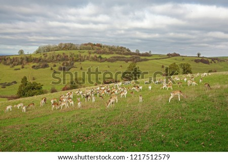 A large herd of Fallow Deer, Dama dama, Bucks and Does grazing in the Gloucestershire countryside in Autumn during the rutting season, England, UK #1217512579