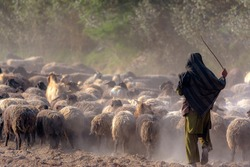 A large herd of sheep and a shepherd in the dust in the rays of sunset at the asphalt road in a desert area