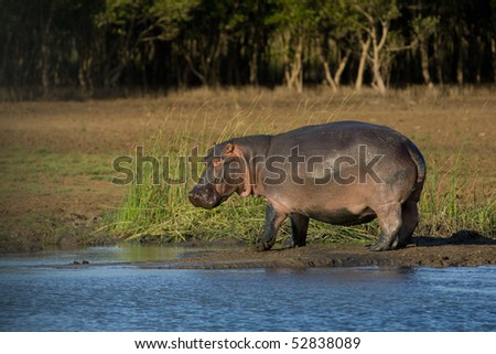 A large hippopotamus standing on the bank of a river in South Africa