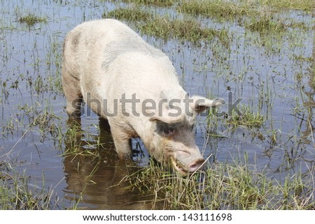 A large hog enjoys eating grass in a slough/Hog in a Slough/A large hog enjoys eating grass in a slough.