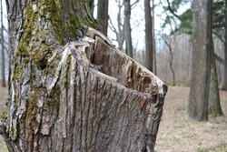 A large hollow in the tree trunk. Old damaged tree in the park.