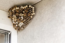 A large hornet's nest. You can see empty and filled cells and wasp insects. The nest is hangs in the window opening of the house