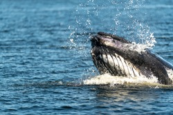 A large humpback whale surfaces from the cold Atlantic Ocean to gulp a mouthful of herring. Water sprays out of it mouth.