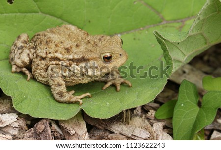 A large hunting Common Toad (Bufo Bufo) sitting on a leaf.