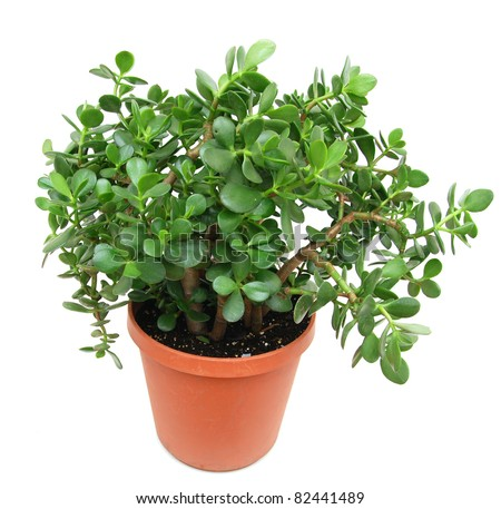 A large jade houseplant tree in 4 year