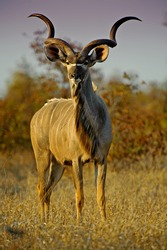 A Large Kudu Bull out in the early evening