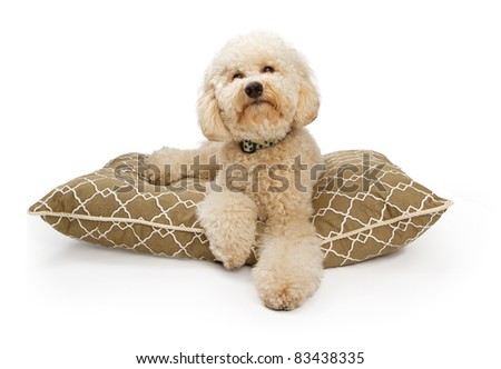 A large Labradoodle Dog sitting on a luxury dog bed. Contains a clipping path for easy extraction. Some cleanup may need to be done around loose strands of fur.