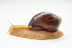 A large land snail on a white background. unusual pets. unconventional cosmetology and medicine.