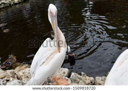 A large, large bird - a white pelican, poses for the photographer on the banks of a pond, lake.