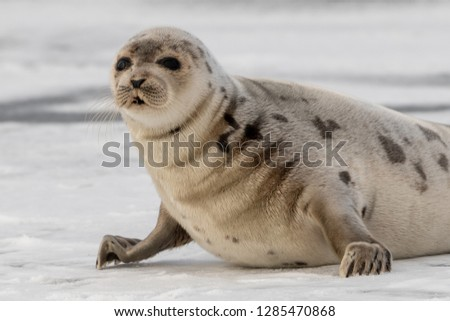A large light colored adult harp seal stands on its front flippers on an ice pan.The dark eyed animal has wrinkles in its fur coat. It has large flippers with claws. Its coat has dark spots on its fur #1285470868