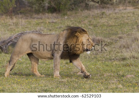 A large lion running across the grassland plains. Photo taken in Eastern Cape nature reserve, Republic of South Africa.