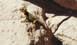 a large lizard on a background of rocks on a Sunny day