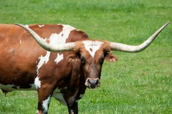A large longhorn bull in a green field