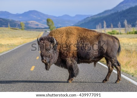 A large male bison is blocking the road