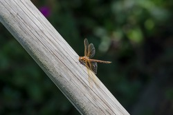 A large male Brown Hawker dragonfly resting from a period of hunting on the fly. June 2020 in Leicestershire. This is a common variety found in the East Midlands.