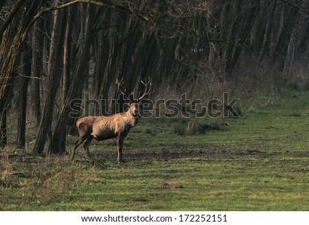 A large male deer ( cervus elaphus)  standing at the edge of a forest at sunrise.Deer photographed in the early morning at sunrise.