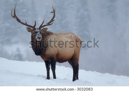A large male elk in Rocky Mountain National Park as lots of snow falls.