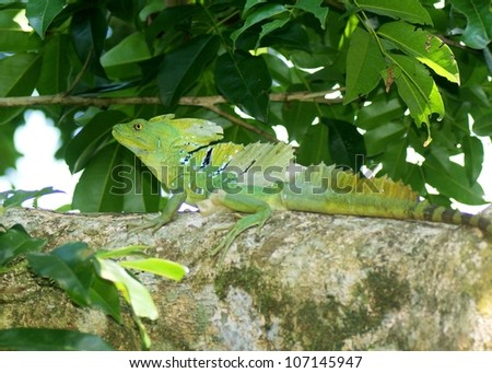 stock-photo-a-large-male-green-or-plumed-basilisk-basiliscus-plumifrons-in-a-tree-near-stream-in-costa-rica-107145947.jpg
