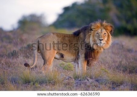 A large Male lion catches the sun