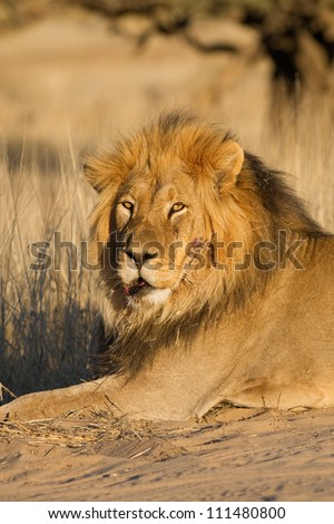 A large male lion with some injuries on its face