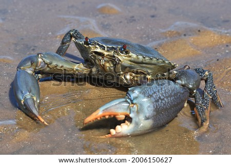 A large male mud crab with blue spots on its claws and legs, and red eyes. The crustacean is standing in shallow water in wet sand on the beach.  Photo stock ©