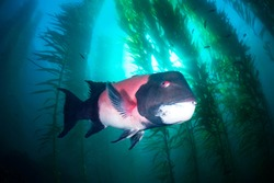 A large male sheephead swims through a beautiful underwater kelp forest in southern California's Channel Islands