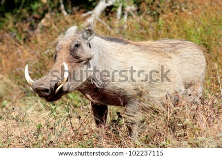 A large male warthog with big tusks in South Africa