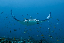 A large manta Ray hovers over a coral reef surrounded by many small fish.  Flexible blades-fins on the sides of the mouth are twisted in a spiral. Maldives.