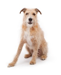 A large mixed breed wire hair dog against a white backdrop