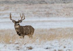 A Large Mule Deer Buck in a Snowy Field