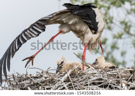 A large nest in which is a stork mom and her three babies