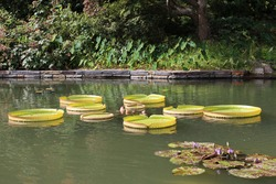 A large outdoor pond with purple water lily flowers and lily pads along with Victoria Amazonica Lily pads edged with Elephant Ears plants, various shrubs and trees
