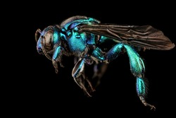 A large, parasitic orchid bee (Exaerte smaragdina), Flying insect , side