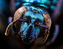 A large, parasitic orchid bee (Exaerte smaragdina) Macro lens, Closeup of face blue fluffy head of bee, Flying insect